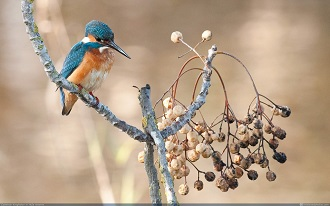 king-fisher-at-hula-valley-1024x640